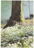 RANNENBERG Waldboden voller Schneeglöckchen Postkarte