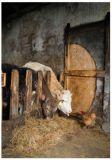 RANNENBERG Stallbewohner / Kühe + Huhn Postkarte