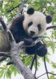 MT Dicker Kletterkünstler / Pandabär - GEO Postkarte