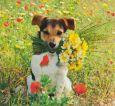 AQUAPURELLA Jack Russel Terrier Welpe - Amalgame Postkarte