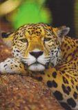 MT Königsfell / Jaguar - GEO Postkarte