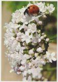 RANNENBERG Marienkäfer mit weißen Blüten Postkarte