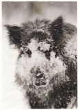 RANNENBERG Wildschwein im Schnee Postkarte