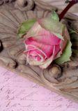 VENCEREMOS Rose Postkarte