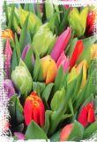 HARTUNG EDITION Tulpen über Tulpen Postkarte