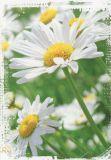 HARTUNG EDITION Gänseblümchen Postkarte