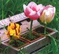 AQUAPURELLA Tulpen in Kiste - Amalgame Postkarte