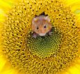 AQUAPURELLA Hamster in gelber Blüte - Amalgame Postkarte