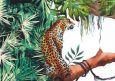 HARTUNG EDITION Leopard NATURE Postkarte