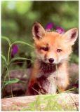 RANNENBERG Kleiner Rotfuchs Postkarte