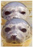 RANNENBERG Zwei Seehunde Postkarte