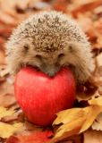 GOLLONG Igel mit Apfel - Fotolia Postkarte
